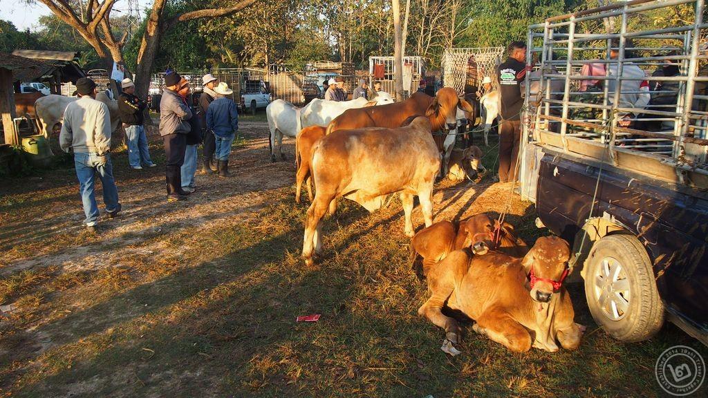 ตลาดนัดวัวควาย เชียงราย