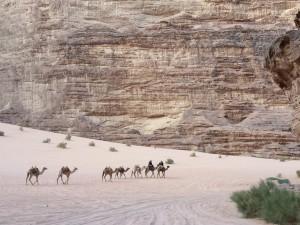 Camels at Wadi Rum