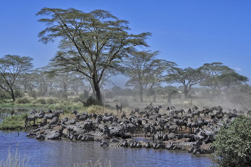 ฝูงม้าลายอพยพที่ Serengeti แทนซาเนีย - Flickr Diana Robinson
