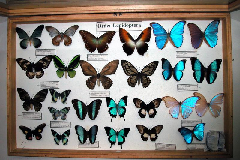 คอลเลคชั่นผีเสื้อจากพิพิธภัณฑ์แมลงโลก - ภาพจากเว็บไซต์พิพิธภัณฑ์แมลงฯ