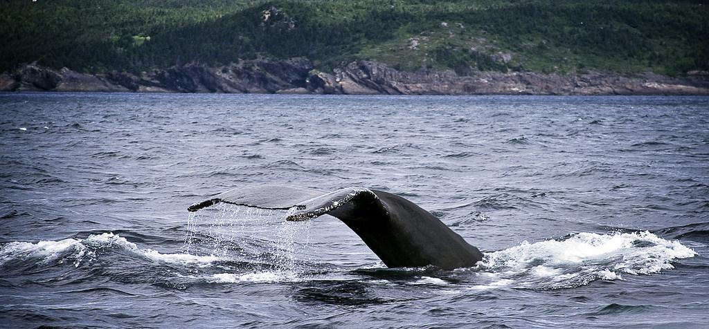 ปลาวาฬที่ Newfoundland - Flickr SIDwms