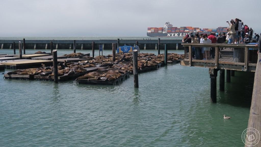 สิงโตทะเล San Francisco