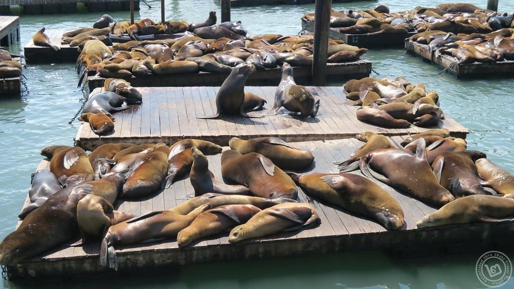 สิงโตทะเล Pier 39