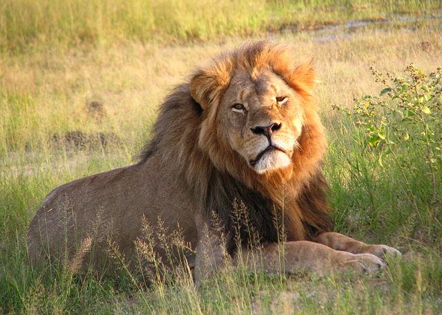 สิงโต Cecil the Lion (ภาพจาก Wikipedia)