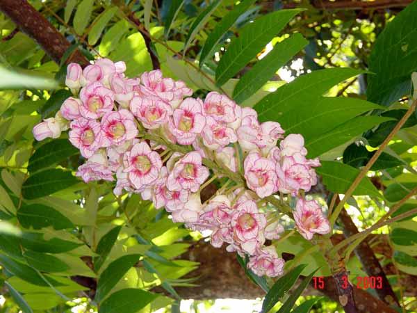 ดอกชมพูภูคา ภาพจากอุทยานแห่งชาติดอยภูคา