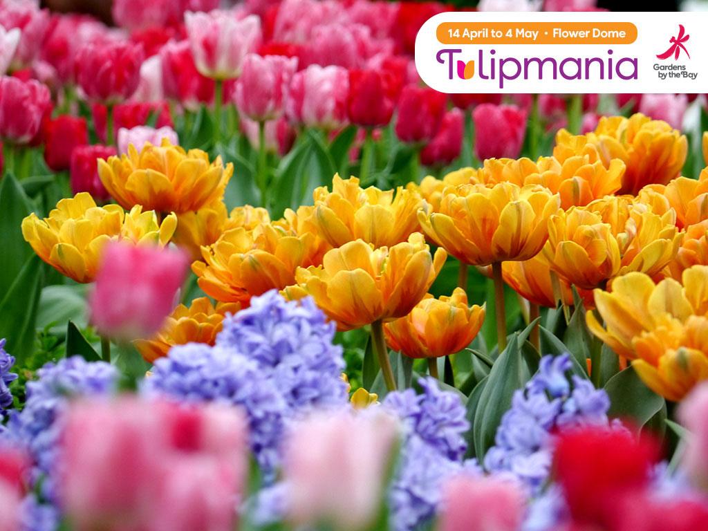 งาน Tulipmania 2014 ที่ Gardens by the Bay