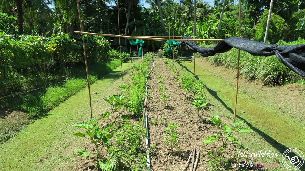 สาหร่ายน้ำจืด ไข่ผำ ดัชนีชี้วัดแหล่งน้ำดี เกษตรอินทรีย์