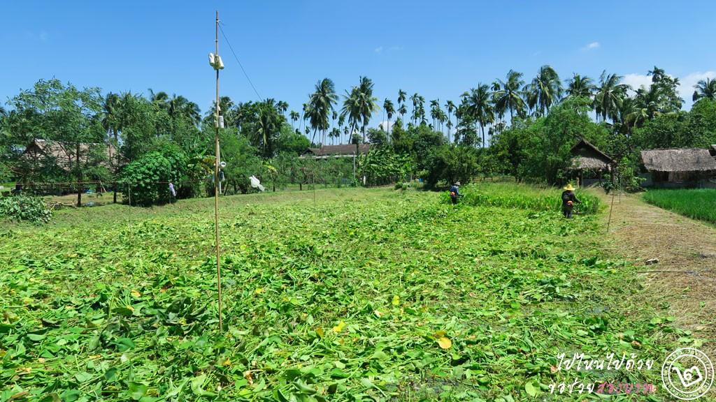 ผักตบชวา เกษตรอินทรีย์