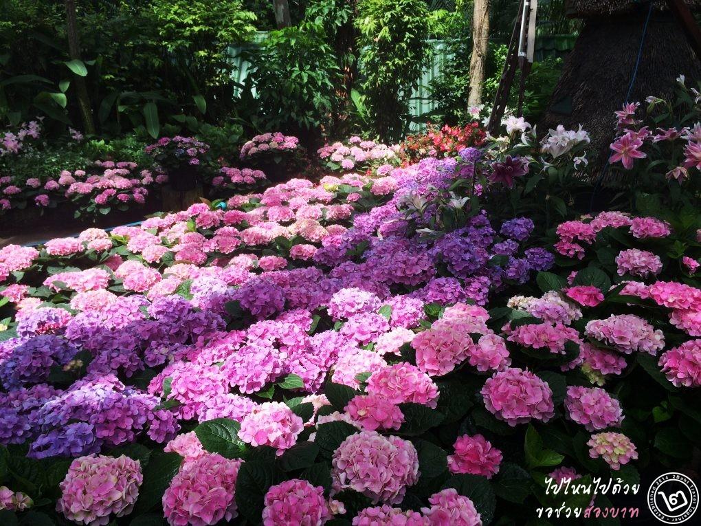 ดอกไฮเดรนเยีย อะจิไซ จ.เชียงใหม่