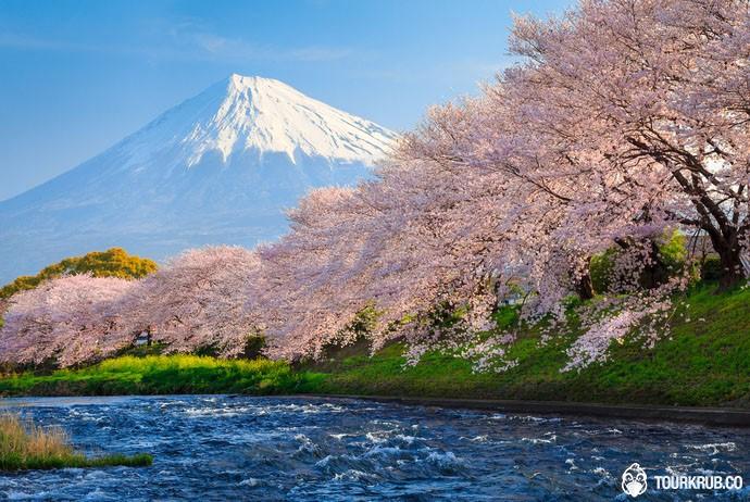 ทัวร์ซากุระในช่วงฤดูใบไม้ผลิที่ญี่ปุ่น